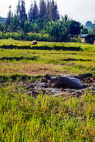 Indonesia, Sumatra. Samosir. Water buffalo in mud close to Tuk Tuk.
