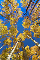 Above the town of ski town of Crested Butte, Colorado is Kebler Pass which takes one through huge expanses of aspen tree groves.  Laying on the ground looking up one sees these trees bend and you hear the rustling of the fall leaves.