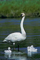 Trumpeter Swan family (Cygnus buccinator), Montana.  June.