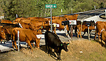 Greeley Hill, California May 14, 2009..Cattle Drive crossing Highway 49 near Haigh's Ranch at the intersection of 49 and Penon Blanco road.  Erickson Cattle Company ..Photo By Al Golub/Golub Photography.