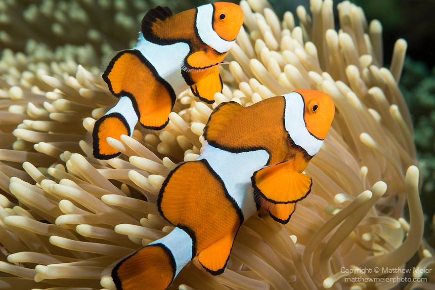 Great Barrier Reef, Australia; a pair of clown anemonefish swimming amongst their host anemone