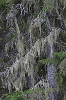 Bartflechte, Bart-Flechte, hängt von den Zweigen einer Fichte in Schweden herab, Usnea longissima, Dolichousnea longissima, Old Man's Beard, Beard Lichen, Treemoss, Methuselah's beard lichen
