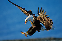 Bald Eagle preparing to land.