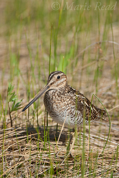 Wilson's Snipe (Gallinago delicata), adult amid marsh vegetation, Mono Lake, California, USA.