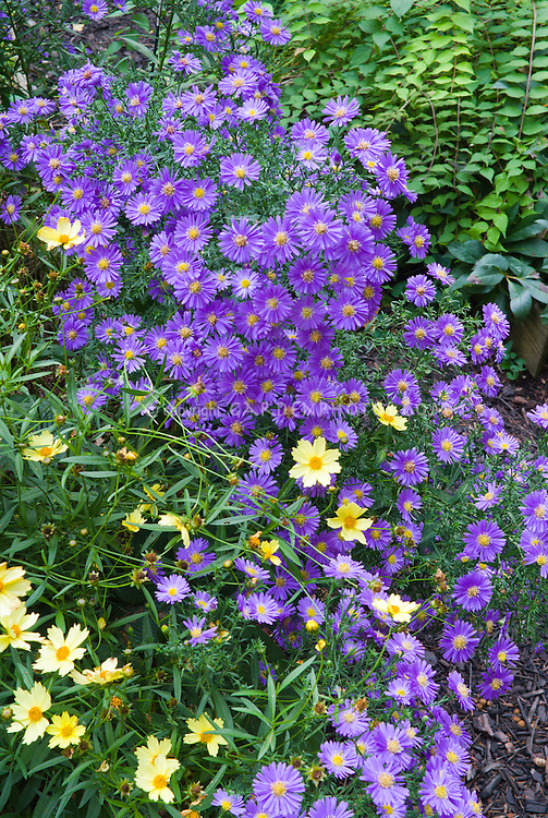 Aster dumosus 'Sapphire' with Coreopsis 'Full Moon' in