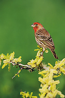 House Finch, Carpodacus mexicanus,male on blooming Blackbrush Acacia (Acacia rigidula) , Lake Corpus Christi, Texas, USA, April 2003