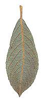 Rusty Sallow - Salix cinerea oleifolia