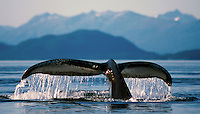 A humpback whale lifts it's fluke as it begins a deep dive in the waters of Lynn Canal in southeast Alaska. Tongass National Fores