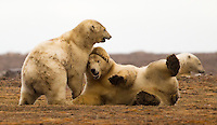 Two Polar Bears play along the ANWR coastal plain near Kaktovik Alaska.