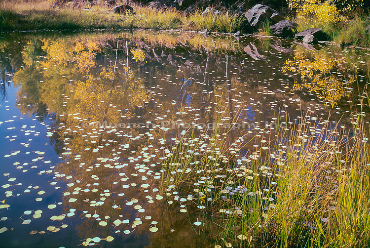 Autumn Aspen reflecting in pond,White Mountains,Arizona