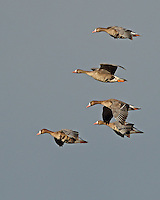 A small group of greater white-fronted geese fly into the late afternoon sun at Klamath. <br />