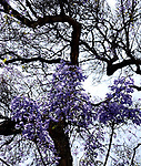 Jacaranda Summer Day