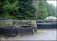 BNPS.co.uk (01202 558833)<br /> Pic: PhilYeomans/BNPS<br /> <br /> Holding tanks filled with fresh water from the Mole river.<br /> <br /> A tiny fish farm in the shadow of Exmoor in Devon has become the unlikely venue of Britains only caviar farm, after perfecting the tricky production of the famous luxury.<br /> <br /> Since 2008 harvesting the famous Russian delicacy from the wild has been banned, after over fishing seriously threatened the survival of the Sturgeon that produced it.<br /> <br /> But with one fish capable of producing over &pound;2000 of 'black gold' the quest has been on to come up with a sustainable farmed alternative.<br /> <br /> Now celebrity chefs are queing up to buy the first harvest from Kenneth Benning's London Fine Food Company. <br /> <br /> Kenneth dreamt up the idea three years ago, with Pat and George Noble who ran the Exmoor farm. But they have had to wait untill the last few week's to start full scale production.<br /> <br /> Caviar farming is notoriously difficult with water temperature and quality critical and sturgeon taking from six to 25 years to grow large enough to start producing eggs to sell.<br /> <br /> Fortunately the Exmoor farm sits alongside the free flowing River Mole that provides a ready source of fresh water.<br /> <br /> 5 years to grow large enough to start producing eggs to sell.<br /> <br /> Fortunately the Exmoor farm sits alongside the free flowing River Mole that provides a ready source of fresh water.