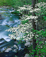 Dogwood tree in bloom along the Middle Prong of the Little River; Great Smoky Mountains National Park, TN