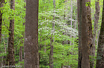 Dogwood at the Chimneys, Great Smoky Mountains National Park, Tennesee, USA