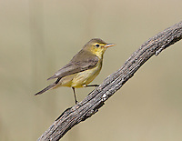 Melodious Warbler - Hippolais polyglotta