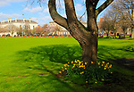 Daffodils spring flowers at Trinity College university grounds, Dublin, Ireland, Republic of Ireland