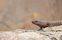 My first view of a giant plated lizard.