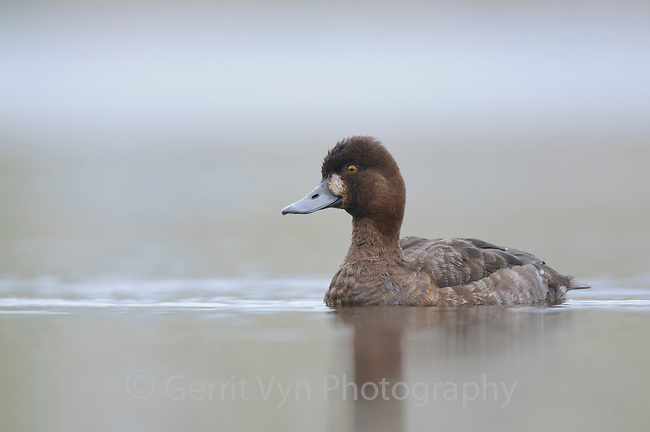 Adult female Lesser Scaup (Aythya affinis). King County, Washington. April.