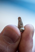 UK.  London. 19th November 2015<br /> Professor Greger Larson holds an ancient dog tooth.<br /> Andrew Testa for the New York Times