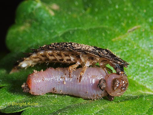 1C24-877z  Firefly larva eating worm -  Lightning Bug - several month old larva - Photuris spp.