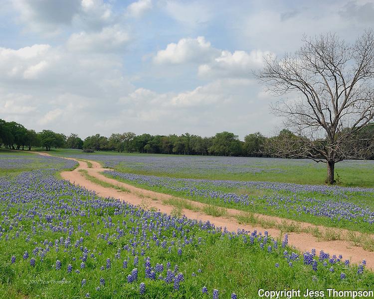 Field of bluebonnet flowers