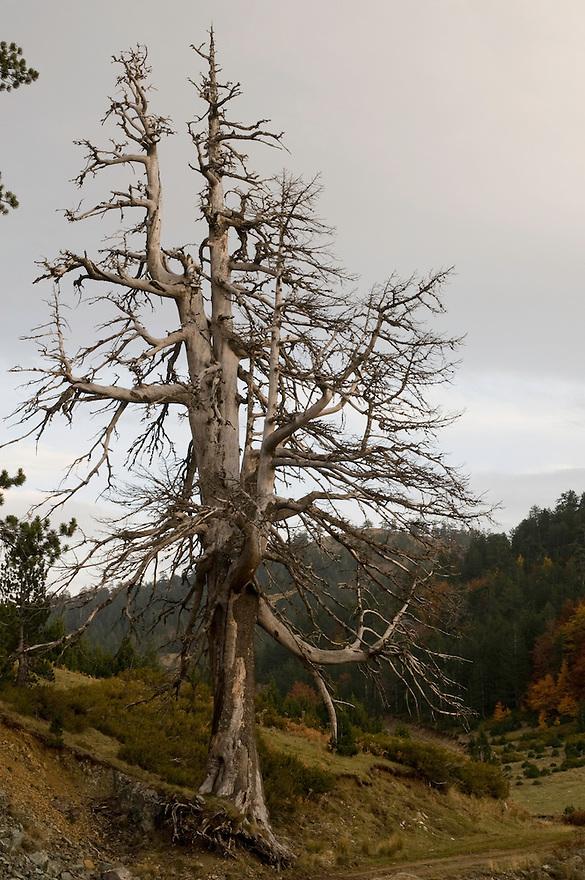 Greece, Pindos Mountains, Pindos NP, Valia Calda, Dry Balkan Pine tree in Valia Calda