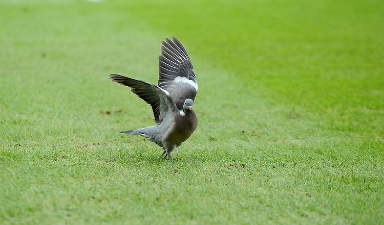 Pigeon invades pitch<br /> <br /> Photographer Hannah Fountain/CameraSport<br /> <br /> The Premier League - Leicester City v Manchester United - Sunday 3rd February 2019 - King Power Stadium - Leicester<br /> <br /> World Copyright © 2019 CameraSport. All rights reserved. 43 Linden Ave. Countesthorpe. Leicester. England. LE8 5PG - Tel: +44 (0) 116 277 4147 - admin@camerasport.com - www.camerasport.com