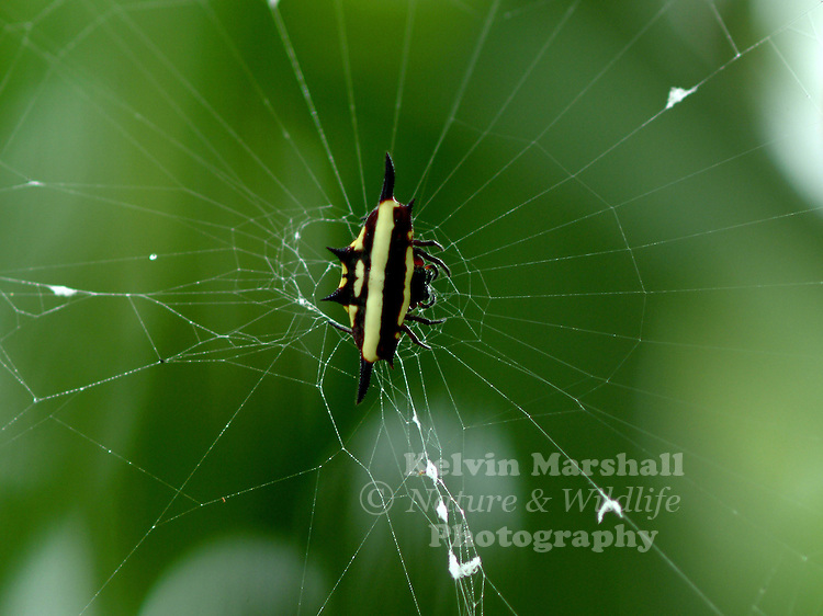 The female Jewelled Spider has a black abdomen with bright yellow and white markings. The extent of the white and yellow varies, and some specimens are mostly black. It has six strong spines. The male is smaller and is mainly black, with less prominent spines. It builds a fine circular web in low shrubbery.