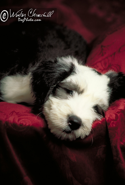 Old English Sheepdog puppy in the studio, sleepy tired Shopping cart has 3 Tabs:<br />