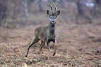 Roe Deer (Capreolus capreolus), the Carpathians; Carpathian Mountains; Bieszczady Mountains; Poland