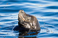 California Sea Lion, Monterey, California
