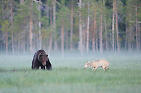 European wolf, Canis lupus, interacting with European Brown bear, Ursus arctos, Kuhmo Finland