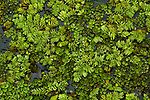 Floating Fern (Salvinia natans), an invasive species, Diyasaru Park, Colombo, Sri Lanka