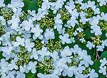 Summer Snowflake, Viburnum denum, Fern Canyon, Mill Valley, California