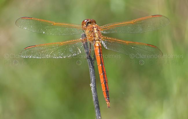 Golden-winged Skimmer (Libellula auripennis) Dragonfly - Male, Fort Desoto Park, Tierra Verde, Pinellas County, Florida