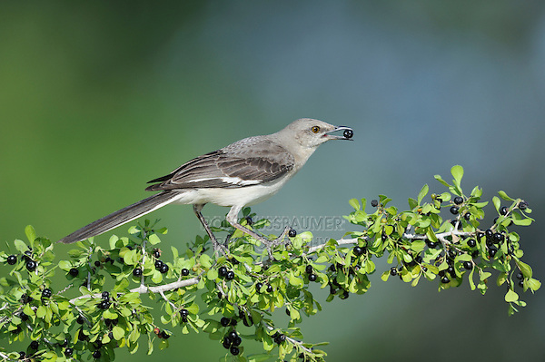 Northern Mockingbird (Mimus polyglottos), adult eating berries, Dinero, Lake Corpus Christi, South Texas, USA