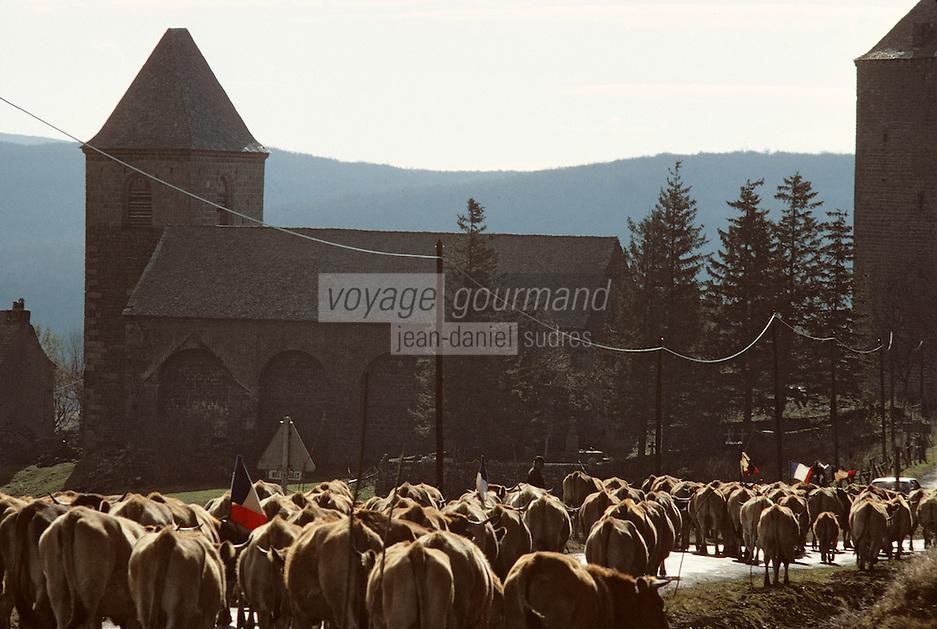 Europe/France/Auvergne/12/Aveyron: Aubrac - Départ du troupeau de race Aubrac pour la transhumance sur la route des burons