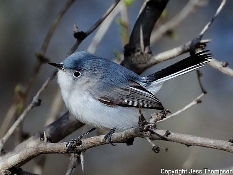 Blue-gray Gnatcatcher, South Llano River State Park, Junction, TX