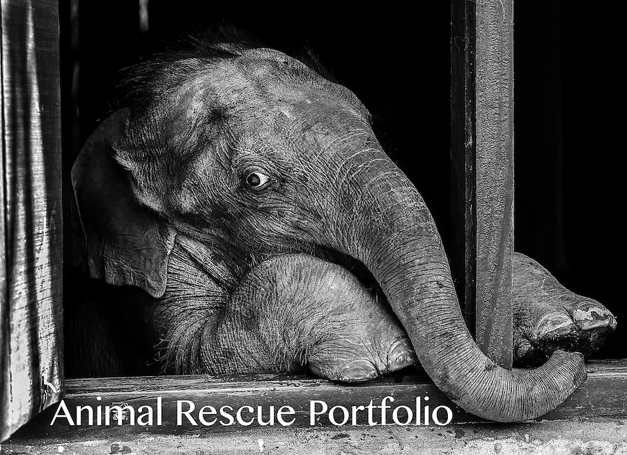 I met this baby elephant while documenting a baby elephant rehabilitation/release program in Assam, India. He had lost his mother in a flood. I spent a lot of time with him and became quite attached. When I finally had to leave, I turned around one more time to look at the building that housed him and saw he had got up on his hind legs and was looking out the window at me. His expression was so strikingly human in that moment and I saw in his eyes something universal and profoundly expressive.