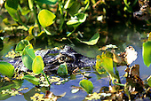 Pantanal, Mato Grosso State, Brazil; cayman swimming through water hyacinth.