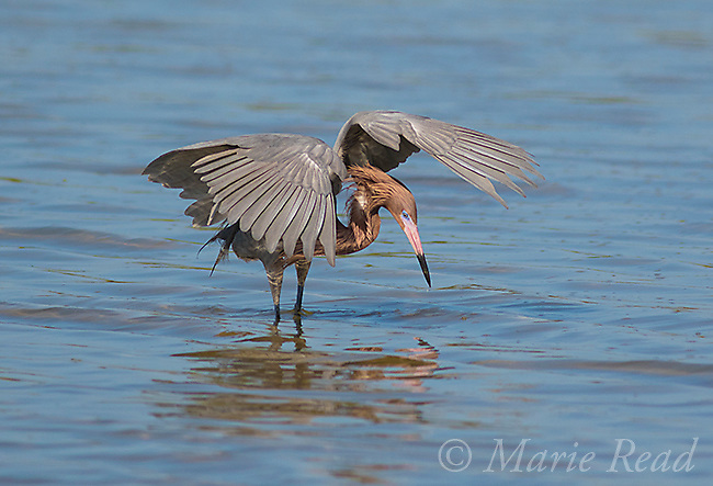 Reddish Egret (Egretta rufescens) dark morph, breeding plumage, with outspread wings looking for fish, Fort De Soto Park, Florida, USA