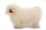 Bolognese Dog - Activity - standing, Studio, White Background