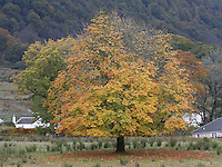 General view of a tree in Autumn in the Trossachs.