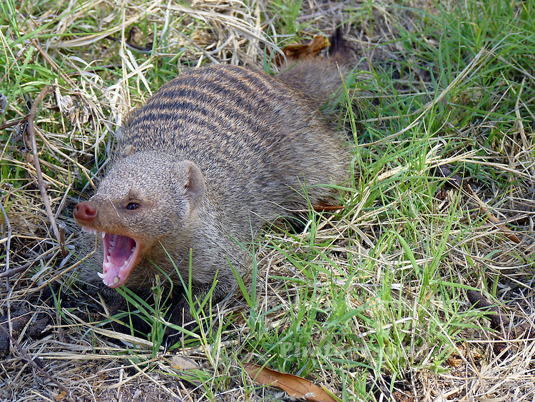 Banded mongoose (Mungos mungo) are a sturdy little animal with a large head, small ears, short, muscular limbs and a long tail, almost as long as the rest of the body. They live in regions of dry, thorny bushland, open savannah, or open forest and grassland areas, especially near water. The banded mongoose is especially common in areas with many termite mounds that serve as housing and food...