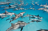 RZ0978-D. Spinner Dolphins (Stenella longirostris), pod swimming together in shallow water near offshore coral reef. Highly variable in appearance, scientists currently recognize four subspecies, often found in large groups. Egypt, Red Sea.<br /> Photo Copyright &copy; Brandon Cole. All rights reserved worldwide.  www.brandoncole.com