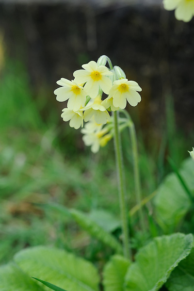 Primula elatior subsp. pallasii