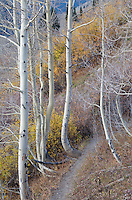 Hillside aspens, Lead King Basin, Colorado