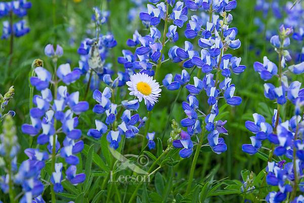 Mountain Daisy (Erigeron peregrinus) or Wandering Daisy, Peregrine Fleabane, Subalpine Daisy, Subalpine Fleabane surrounded by lupine.  Subalpine meadows near Mount Rainier National Park, WA.  Summer.