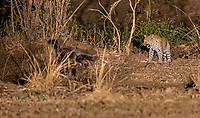 Africa, Zambia, South Luangwa National Park, honey budger and leopard fight